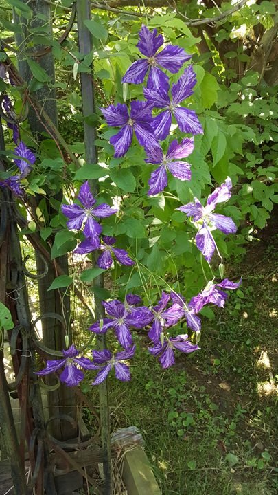 Clematis Flowers - Brandon's Gallery