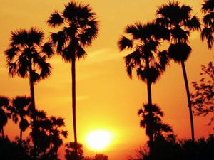 Burma Palm Tree