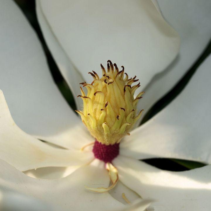 Miniature Magnolia - mistermike photography