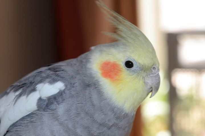 Mighty the Cockatiel - Gallery-1