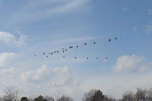 Geese in Colorado Sky