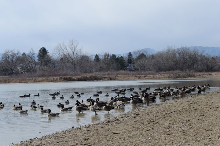 Geese at lake in Colorado - Gallery-1