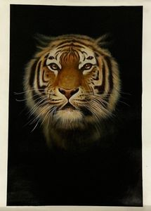 Indian tiger with black background