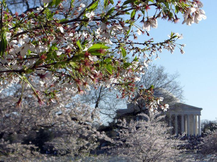 Cherry Blossom Festival - Attucks Adams