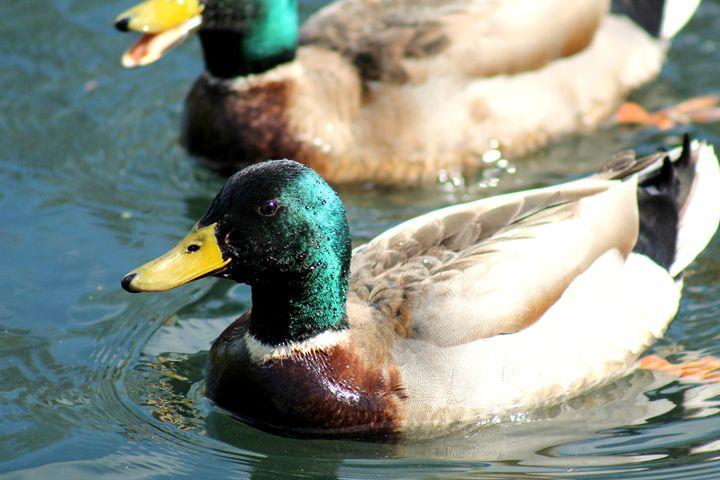 Duck 1 - Shaywolf's Photos