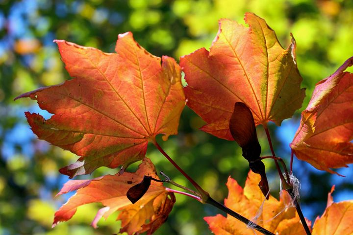 Color the Leaves - Shaywolf's Photos