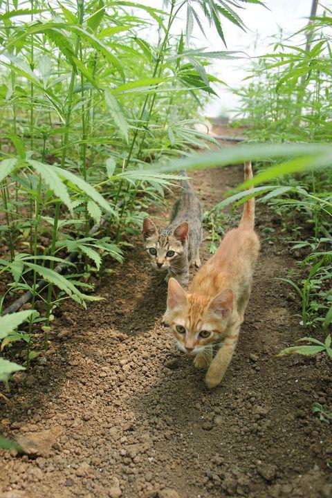 Hemp Cats - KATKA'S GALLERY