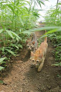 Hemp Cats