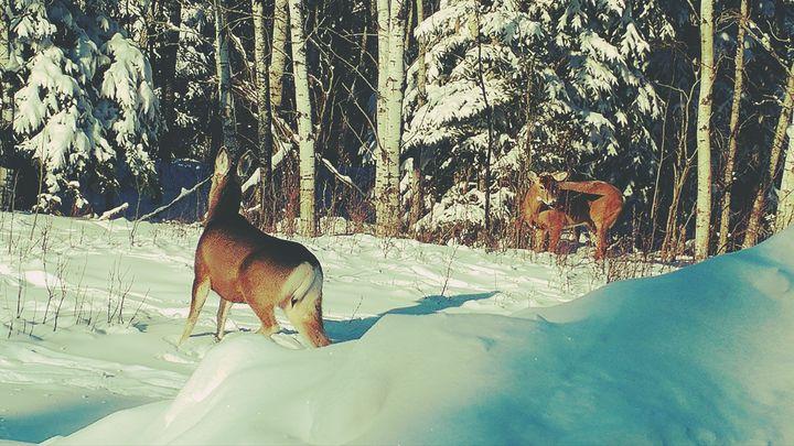 Vintage Deer in Snow - Nicholson Art Gallery