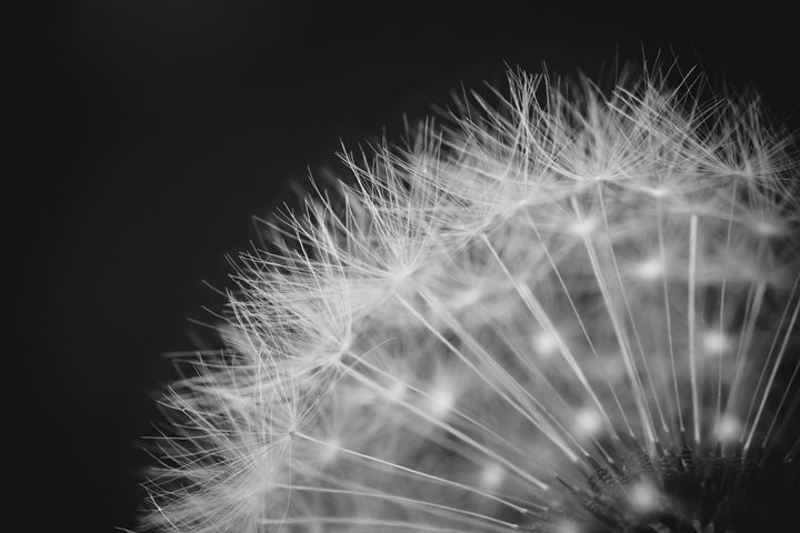 Black & White Dandelion - Jaci Harmsen Photography
