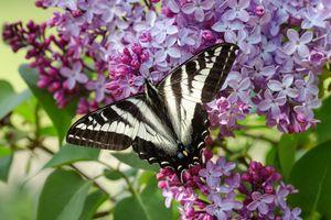 Tiger Swallowtail on Lilac Bush