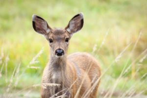 Young Deer In Tall Grass
