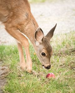 Fawn Investigating Apple