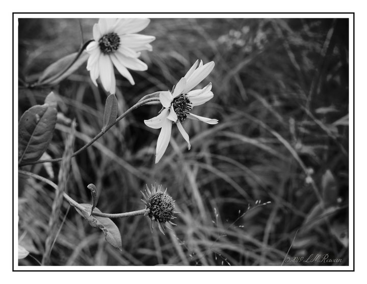 Wild Field Flowers in Monochrome - Images Undefined