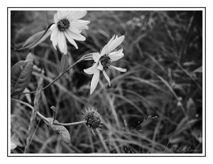 Wild Field Flowers in Monochrome