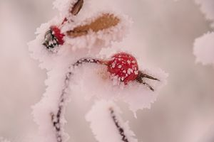 Rosehip Frozen in Frost