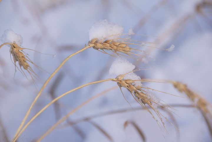 Wheat in Winter on Blue - Images Undefined