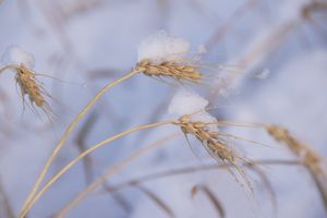 Wheat in Winter on Blue