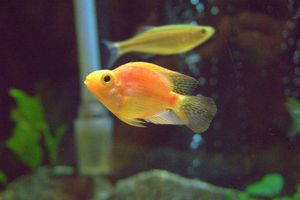 Blood parrot cichlid fish