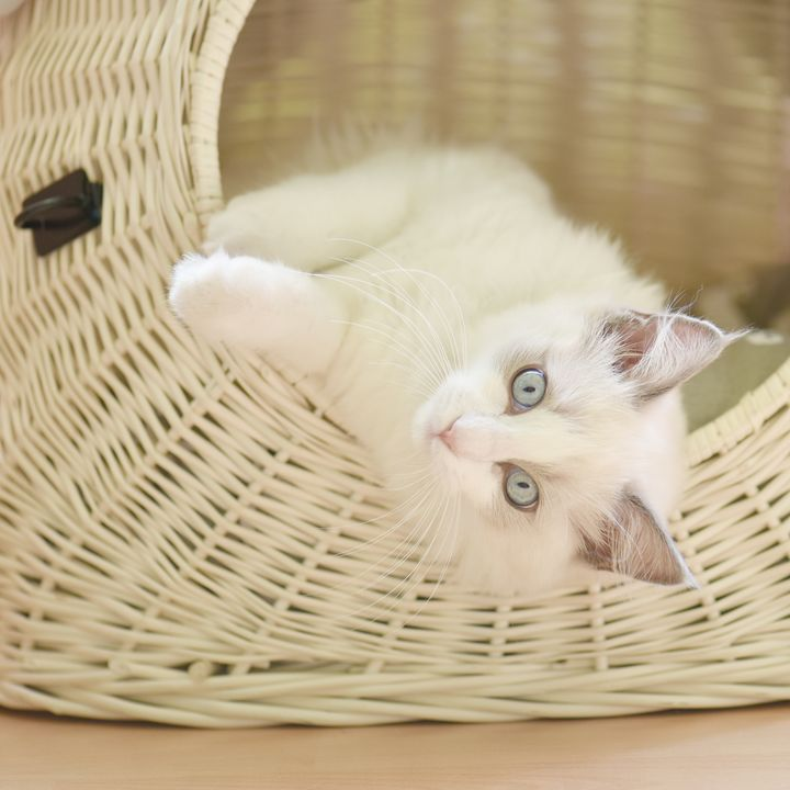 AMIE - Luxurious Ragdoll