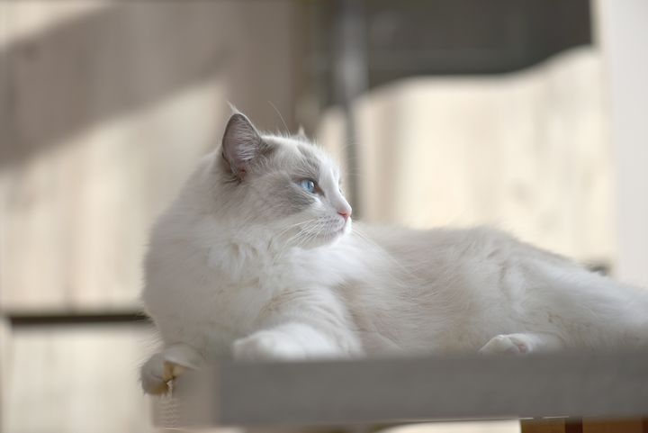 Royal Elegance - Luxurious Ragdoll