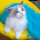 Luxurious Ragdoll