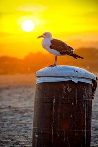 Sun Gull