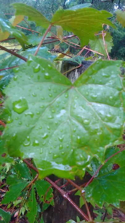 A Grape Leaf with Water Drop's - SKS