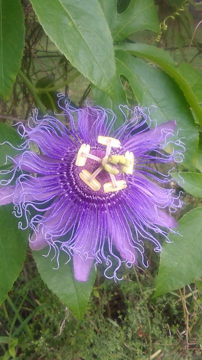 Purple Passion Flower - SKS