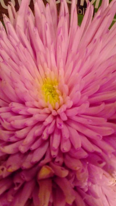 Pink Chrysanthemum - SKS