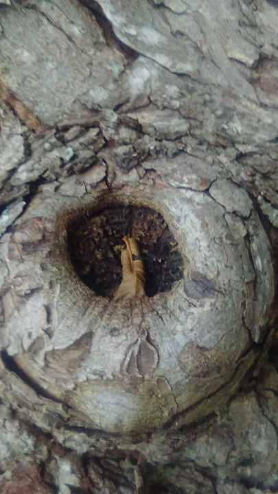 Walnuts Tree not hole - SKS