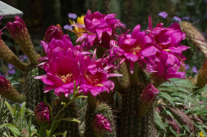Cactus Torch Flowers - Michael Moriarty Photography