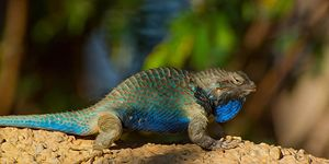 Lizard on Color Background