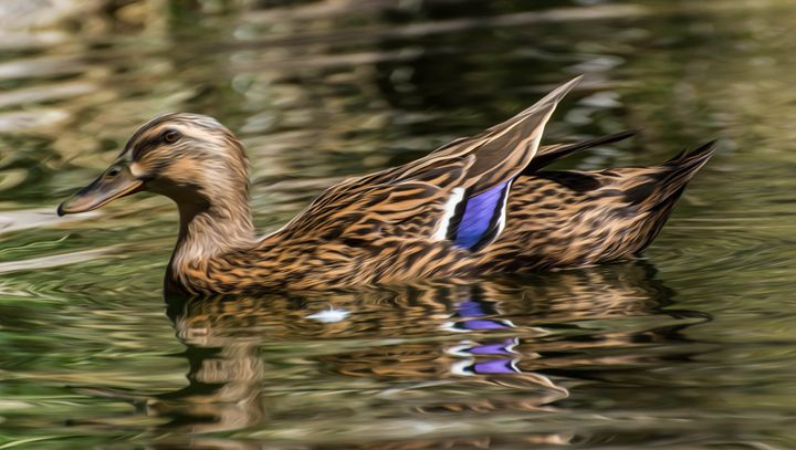 Duck in Water - Michael Moriarty Photography