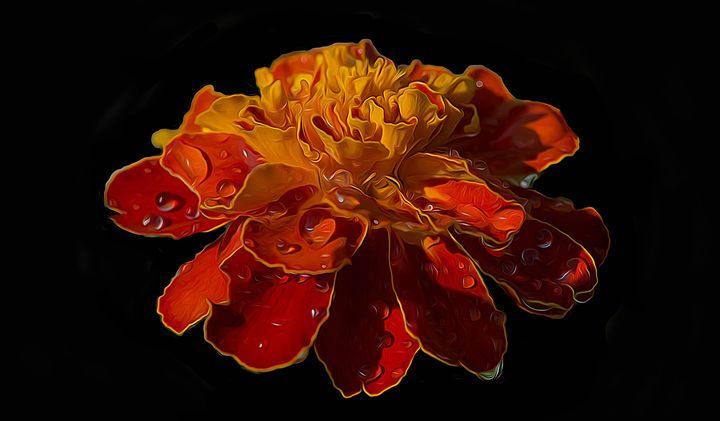 Marigold with water droplets - Michael Moriarty Photography