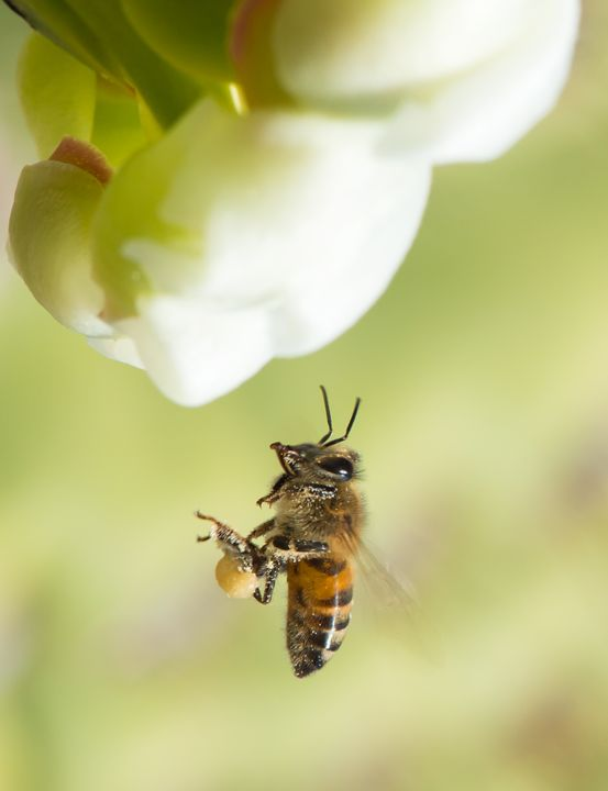 Pollinator in Flight - Michael Moriarty Photography