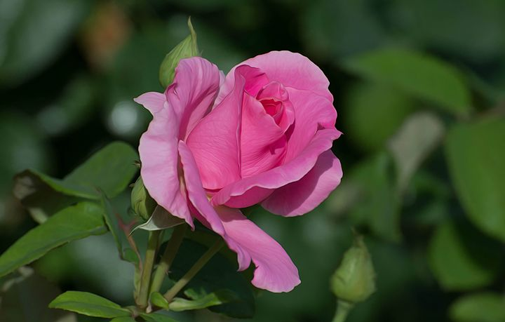 Pink Rose - Michael Moriarty Photography