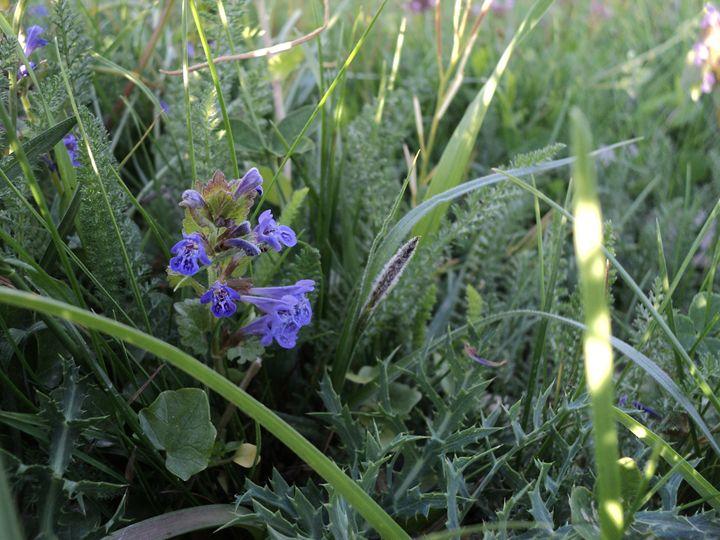 Blue field flower - rexalanii