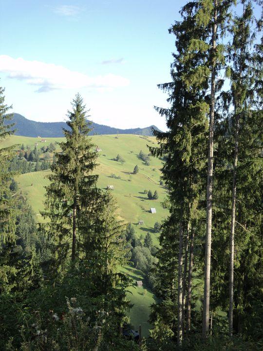 Pine trees - rexalanii
