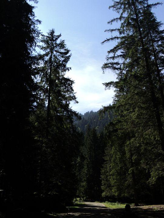 Pine tree forest climbing path - rexalanii