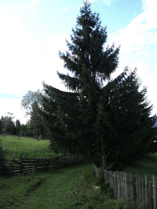 Pine tree - rexalanii