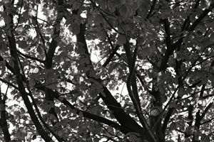 Black & White Tree