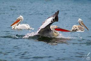 Landing Pelican's Reverse Thrust