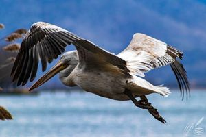 Juvenile Pelican In Flight