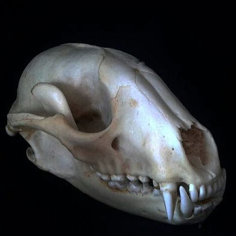 Raccoon Skull - Avery Jace - Photography, Animals, Birds