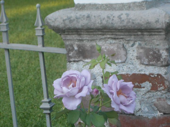 violet roses - Kate-Ann Art and Photography: Stephanie Perry
