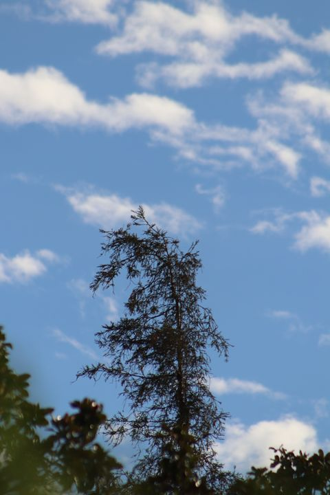 Pine tree with clouds - Kate-Ann Art and Photography: Stephanie Perry