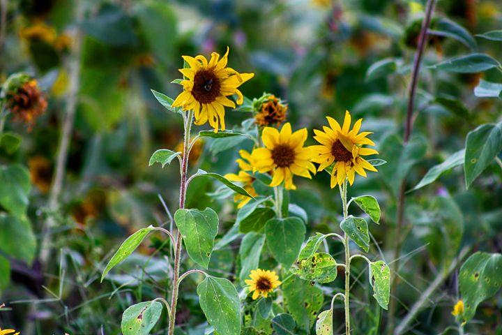 Sunflower Trio - Ashley Schwoebel