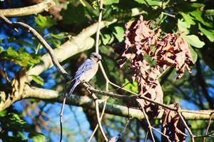 Blue Bird - Ashley Schwoebel