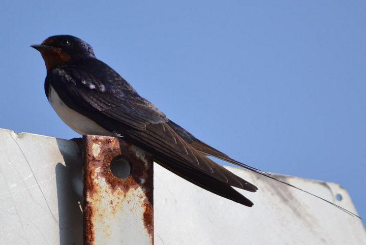 Swallow - Metanoia's Art